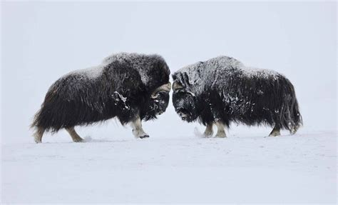 Beautiful Wildlife Photography by Vincent Munier