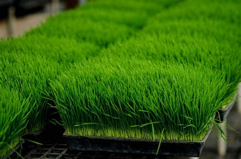 Wheatgrass: This Most Alkalizing Food Should Be Eaten
