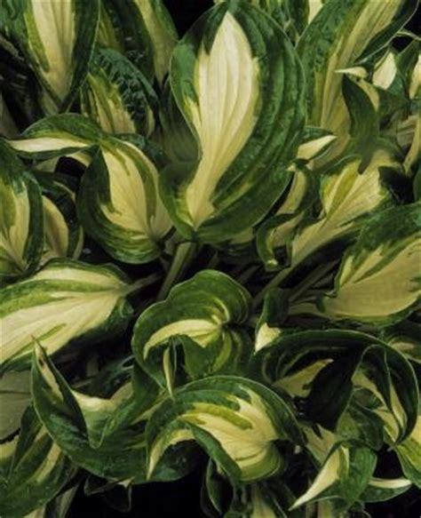 Plants With Green & White Leaves   Garden Guides